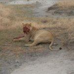 Female lion post kill