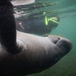 Face-to-face with a baby manatee!