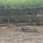Salt water crocodile in action