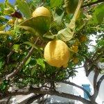 Lemon Tree outside of our room!