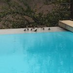 Infinity pool with group of Blue Waxbill birds