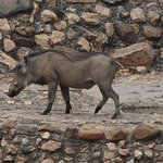 Wart Hog at water hole