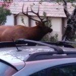 Bull Elk right outside of our cabin