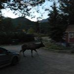 Bull Elk on the grounds