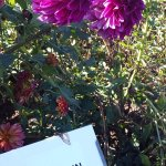 Dahlias everywhere