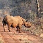 Yvette, the rhino