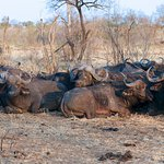 Part of a big herd of Buffaloes.