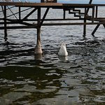 No respect from these swans: They showed us their behinds...!