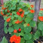 Nasturtiums - Edible flowers
