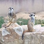 mes amis les suricates....trop mignons!