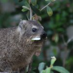 Hungry Dassie