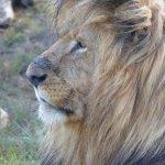 Het oude mannetje van een leeuwengezin die we een aantal keren van dichtbij konden zien
