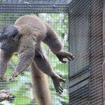 airborne Lemur
