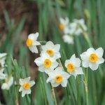 صورة فوتوغرافية لـ Echizen Misaki Daffodil Land