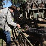 pygmy hippo feeding