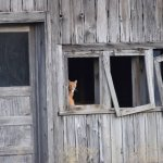 Cat in a barn window in the Methow valley.