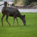 Deer at the park in town.