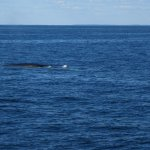 one of three Fin whales we saw 10/02/2017.
