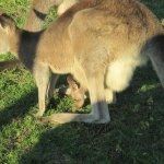 A roo and her joey