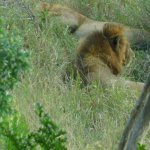 Male Lion on the Game Drive