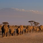 elephants and the Kilimanjaro