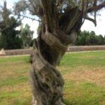 Olivenbaum, einer von vielen in einer schönen Gartenanlage
