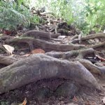 The root system you are using as steps!