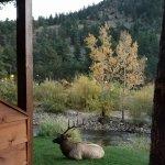 Good morning Buddy the Elk!