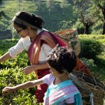 tea plucking session