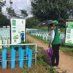 Licorice farming in tubes