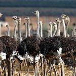 Working Ostrich Farm Tour - Exclusive to Berluda