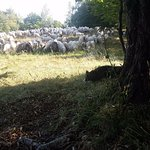 Sheep dog watching over the flock. Amazing to see the dogs working together to protect the sheep