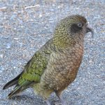 Kea parrots were everywhere.