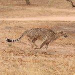 A magestic Cheetah on the run