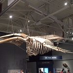Newly completed whale skeleton