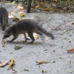 Raccoons At The Beach.