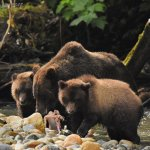 a mama and 2 cubs feasting on the abundance of salmon during the salmon run