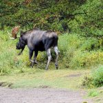 Bull moose by Visitor Centre