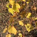 Wild grape in its yellow Fall color, 10/9/2017