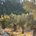in Son Palou's olive groves