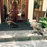 I believe there are three peacocks in the hotel, one female two males