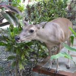 Niña the deer, a regular hotel visitor from the National Park