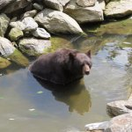 One of the bears cooling off