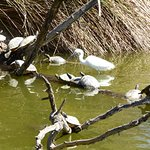 Terrapins sunning themselves on the lake