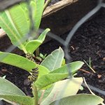 Our milkweed garden gives a home for the monarch butterflies.