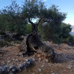 3000 year old olive trees