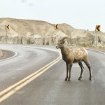 Long horn goat right on the road!