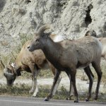 Bighorn sheep along the loop
