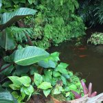 ...the koi pond is set in a lush garden....