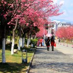 The campus of cherry blossoms
